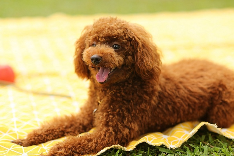 Toy Poodles: Facts About the World's Cutest Dog Breed